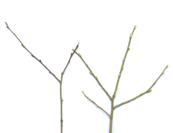 Nettflora Salix
