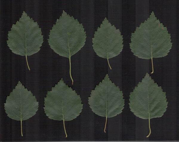 knulle eldre blader